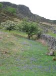 Coast to Coast - Day 2 - bluebells on the hillside after rounding Robin Hood\\\\\\\'s Chair