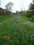 The Pennine Way lined with bluebells along the banks of the River Tees