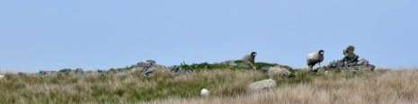 Sheep guarding the cairns at Cross Rigg header image (from day 15)