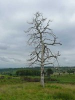 A dead tree on Ashdown Forest