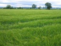 Coast to Coast - Day 11 - a field of barley