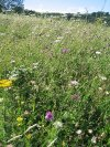 Wild flowers on chalk downland just east of Eastborne