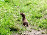 A single stoat in the garden