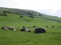 Coast to Coast - Day 7 - a stone circle augmented by sheep