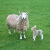 Coast to Coast - Day 5 - A proud sheep with her young lamb
