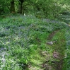Coast to Coast - Day 6 - bluebell wood at Burnbanks