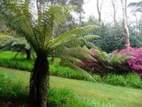 Tree ferns at Tregothnan
