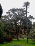A superb specimen of a cork oak
