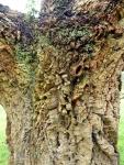 Cork oak bark
