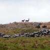 Two deer on Bodmin Moor