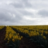 A field of daffodils in Cornwall