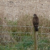 Buzzard at Maiden Castle