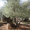 Jerusalem Old City - Garden of Gethsemane