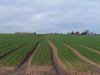 A field of seedling onions