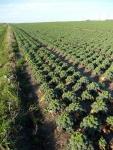 A field of kale