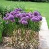 Ness Botanic Garden, June 2004 - Allium \'Globemaster\'