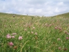 Wild flowers on the chalk downland of Seven Sisters