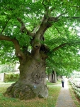 Sweet chestnut tree (circa 1700) at Herstmonceux Castle
