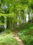 A beech woodland with bluebells and wild garlic on the valley sides of Colden Water