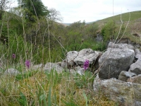 Orchids and other wild flowers on the steep escarpments above Ling Gill