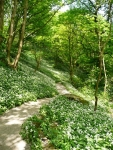 Wild garlic carpeting the woodland floor near Janet\'s Foss