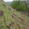 Primroses on the northern side of Kisdon