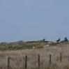 Sheep guarding the cairns at Cross Rigg
