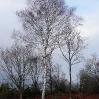 A lone birch tree in the wintery sun