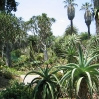 Aloes at Huntington Botanic Gardens