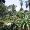 Aloes at Huntington Botanic Gardens