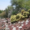 Cacti at Huntington Botanic Gardens