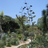 Flowering agaves at Huntington Botanic Gardens