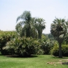 Palm grove at Huntington Botanic Gardens