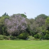 Jacaranda trees in flower at Huntington Botanic Gardens