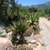 Aloes at Taft Ranch