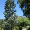 Leucadendron argenteum (Silver Tree) at Taft Ranch