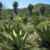Aloes (with an avenue of Washingtonia palms in the background) at Taft Ranch