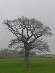 A lone tree along the Wealdway