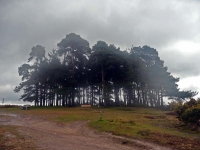 Camp Hill Clump in the rain on Ashdown Forest