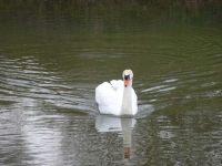 A swan on the River Medway