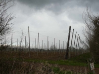 Hops in winter, what a lot of poles