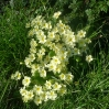 Primroses in the rare late afternoon sunshine