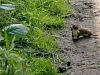 A young family of stoats in a Sussex garden #2 of 10