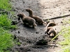 A young family of stoats in a Sussex garden #3 of 10