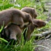 A young family of stoats in a Sussex garden #4 of 10