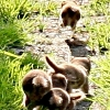A young family of stoats in a Sussex garden #6 of 10