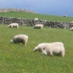 Coast to Coast, May 2007 - Sheep in field heading down to Orton