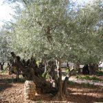 Jerusalem Old City - Garden of Gethsemane