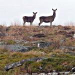 Deer on Bodmin Moor